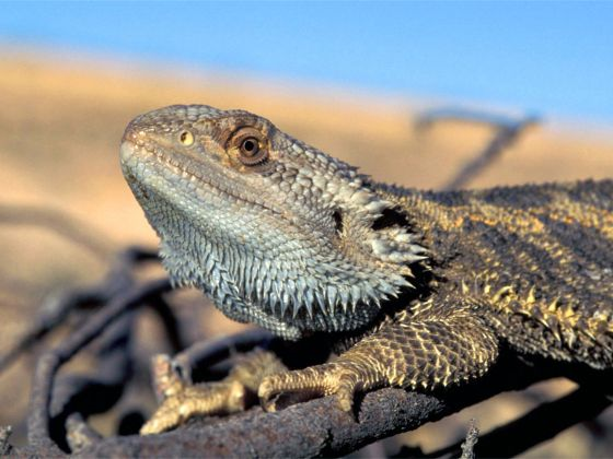 This handout photo provided by Arthur Georges, University of Canberra, Australia, taken in October 2014, in Eulo, Queensland, Australia, shows a bearded dragon lizard. Photo: AP
